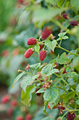 Clare MATTHEWS FRUIT Garden PROJECT: THE Red FRUITS of Tayberry - EDIBLE, BERRIES
