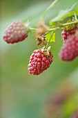 Clare MATTHEWS FRUIT Garden PROJECT: CLOSE UP of THE Red FRUIT of RASPBERRY 'TULAMEEN' . EDIBLE, BERRY, BERRIES
