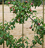 Clare MATTHEWS FRUIT Garden PROJECT: PEAR LOUISE BONNE of Jersey - A ROOT Stock TRAINED INTO DIAMONDS