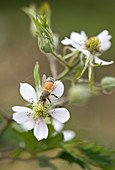 Clare MATTHEWS FRUIT Garden PROJECT: CLOSE UP of THE FLOWERS of BLACKBERRY 'Oregon THORNLESS'.