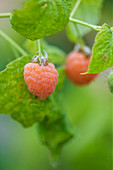 Clare MATTHEWS FRUIT Garden PROJECT: CLOSE UP of THE BERRIES of RASPBERRY 'MALAHAT'. BERRY, EDIBLE