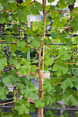 Clare MATTHEWS FRUIT Garden PROJECT: GRAPE Nero SHOWING TRAINING. EDIBLE