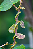 RHS Garden, ROSEMOOR, Devon: Kiwi - ACTINIDIA CHINENSIS 'HAYWARD'