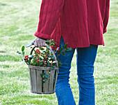 Highfield HOLLIES, Hampshire - Girl IN Red JUMPER CARRYING WOODEN BASKET FILLED with HOLLIES - ILEX AQUIFOLIUM 'Amber', ILEX HANDSWORTH New Silver AND ILEX 'W J BEAN'
