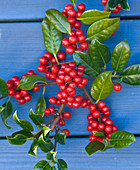 Highfield HOLLIES, Hampshire - CLOSE UP of THE Red BERRIES of THE HOLLY - ILEX AQUIFOLIUM 'J C Van TOL'