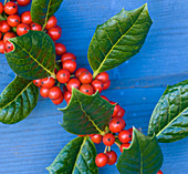 Highfield HOLLIES, Hampshire - CLOSE UP of THE Red BERRIES of THE HOLLY - ILEX AQUIFOLIUM 'NELLIE R STEVENS'