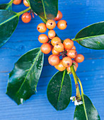 Highfield HOLLIES, Hampshire - CLOSE UP of THE Orange BERRIES of THE HOLLY - ILEX Amber