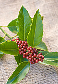 Highfield HOLLIES, Hampshire - CLOSE UP of THE Red BERRIES of THE HOLLY - ILEX KOEHNEANA 'CHESTNUT LEAF'