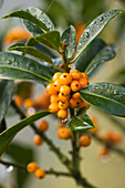 Highfield HOLLIES, Hampshire - Orange BERRIES of THE HOLLY - ILEX 'Amber'