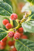 Highfield HOLLIES, Hampshire - Red FROSTY BERRIES of THE HOLLY - ILEX 'J C Van TOL'