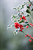 Highfield HOLLIES, Hampshire - FROSTED LEAVES AND Red BERRIES of THE HOLLY - ILEX AQUIFOLIUM 'Alaska'