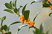 Highfield HOLLIES, Hampshire - LEAVES AND Orange BERRIES of THE HOLLY - ILEX AQUIFOLIUM 'Amber'