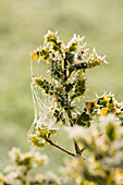 Highfield HOLLIES, Hampshire - FROSTED LEAVES of THE SPIKY HOLLY - ILEX AQUIFOLIUM 'FEROX AUREA'