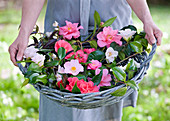 TREGOTHNAN, Cornwall: Girl HOLDING BASKET FILLED with Mixed Heritage Camellia FLOWERS