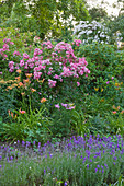 HOOK END FARM BERKSHIRE: LAVENDER LINED PATH ROSES ACHILLEA AND DAYLILIES