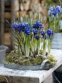Iris reticulata (Netziris) in Moos auf Zink-Tablett, dekoriert mit Zweigen
