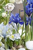 Iris reticulata 'Harmony' (Netziris), 'Katherine Hodgkin' (Zwergiris)