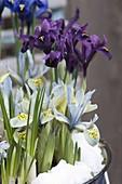 Iris 'Katherine Hodgkin' , histrioides 'George' (Zwergiris) mit Schnee