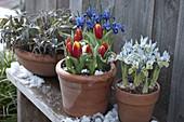 Iris reticulata 'Harmony' (Netziris), 'Katherine Hodgkin' (Zwergiris), Tuli