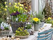 Frühlings-Tisch : Narcissus 'Tete a Tete' (Narzissen), Iris histrioides 'Geor