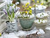 Crocus vernus 'Striped Beauty' (Krokus), Eranthis (Winterlinge) mit Schnee
