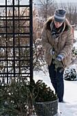 Rosen im Januar mit Koniferenzweigen vor zu viel Sonne schützen