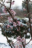 Viburnum bodnantense 'Dawn' (Winterblühender Duft-Schneeball)