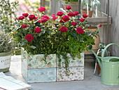 Holzkiste mit nostalgischem Dekor bepflanzt mit Rosa (Rosen), Petersilie