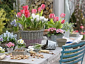 Tulipa (Tulpen), Primula acaulis (Primeln), Crocus vernus (Krokus)