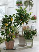 Wintergarten mit Citrus limon (Zitrone) am Spalier , Citrofortunella