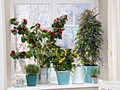 Überwinterung von Kübelpflanzen am kalten Fenster