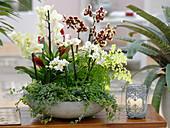 Phalaenopsis 'Gelbe Kuhflecken' 'Anthura Rome' 'Sao Paulo' (Malayenblumen