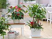 Dracaena fragrans 'Massangeana' (Drachenbaum) unterpflanzt mit Guzmania