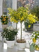 Acacia dealbata (Mimose), Viburnum tinus 'Eve Price' (Lorbeerschneeball)