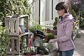 Frau bepflanzt Holzkasten am Topftisch mit Erdbeeren (Fragaria) und Kräutern