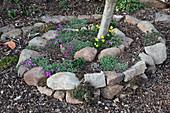 Steinspirale als Baumscheibe, bepflanzt mit Arabis (Gänsekresse) und Narcissus (Narzissen)