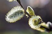 Biene auf Blüte von Salix caprea (Kätzchenweide)