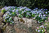 Omphalodes verna (Gedenkemein) auf Trockenmauer