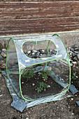 Kleines Folienhaus als Frühbeetkasten mit Tomaten - Jungpflanzen (Lycopersicon)