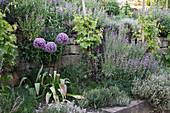 Allium 'Globemaster' (Zierlauch) Blüte von Juni - Juli, vor Mauer mit Salbei (Salvia) und Thymian (Thymus), Vitis vinifera (Wein)