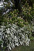 Freiwachsende Hecke aus Spiraea vanhouttei (Pracht-Spiere) vor Aesculus (Kastanie)