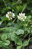 Trifolium repens (Weißklee)