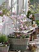 Magnolia fraseri 'Georg Henry Kern' (Magnolie) unterpflanzt mit Viola cornuta