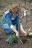Frau pflanzt Scilla (Blausternchen) auf die Baumscheibe