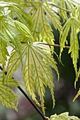 Acer palmatum 'Ariadne' (Japanischer Fächerahorn)
