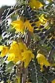 Sophora microphylla 'Sun King' syn 'Hilsop' (Schnurbaum)