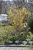Frühlingsbeet : Forsythia 'Weekend' (Goldglöckchen), Tulipa 'Negrita'