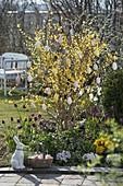 Frühlingsbeet : Forsythia 'Weekend' (Goldglöckchen) mit Eiern geschmückt