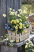 Spankorb mit Narcissus 'Minnow' (Narzissen), Primula elatior