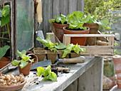 Jungpflanzen von Salat (Lactuca) in Torf-Presstöpfen und Tontöpfen